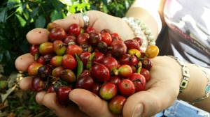 A handful of freshly picked coffee beans
